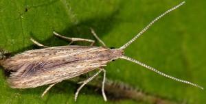 Coleophora texanella 6