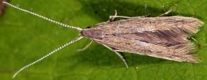 Coleophora texanella 7