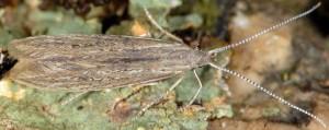 Coleophora texanella 8