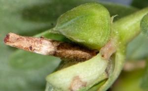 Coleophora texanella f 1
