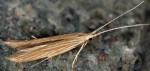Coleophora therinella (I)