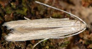 Coleophora therinella 2