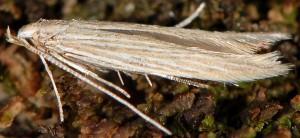 Coleophora therinella 3