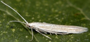 Coleophora thurneri 1