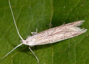 Coleophora thurneri 3