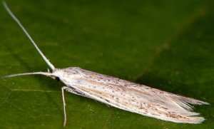 Coleophora thurneri 4