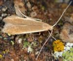 Coleophora trigeminella (I)