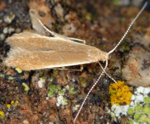 Coleophora trigeminella 1