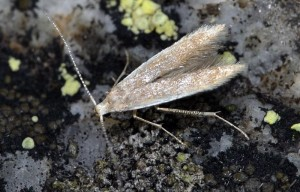 Coleophora trigeminella 2
