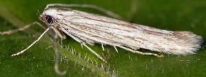 Coleophora trochilella 1