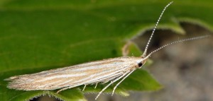 Coleophora trochilella 2