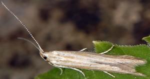 Coleophora trochilella 3
