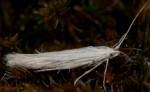 Coleophora uralensis (I, F)