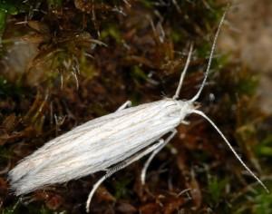 Coleophora uralensis 3