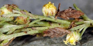 Coleophora uralensis f 1