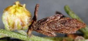Coleophora uralensis f 2