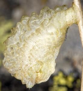 Coleophora valesianella f 1