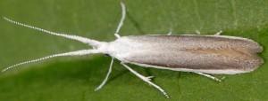 Coleophora vestalella 3