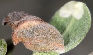 Coleophora vestalella f 4