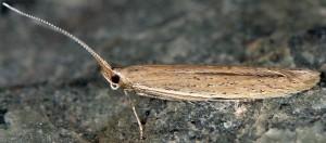 Coleophora vestianella 1