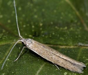 Coleophora vestianella 3