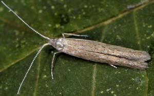 Coleophora vestianella 4