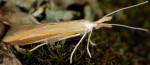 Coleophora vibicella (I, F)