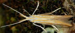 Coleophora vibicella 5