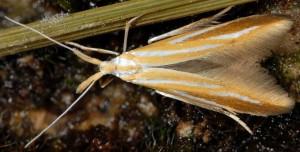 Coleophora vibicella 6