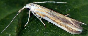 Coleophora vibicigerella 2