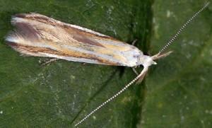Coleophora vibicigerella 3