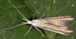 Coleophora vibicigerella 4