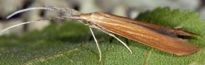 Coleophora wockeella 1
