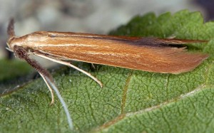 Coleophora wockeella 2