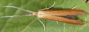 Coleophora wockeella 4