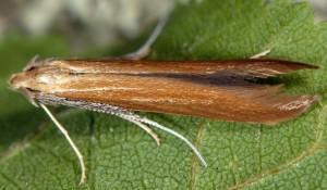 Coleophora wockeella 5