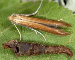 Coleophora wockeella 6