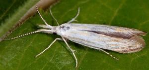 Coleophora zelleriella 1