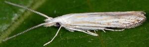 Coleophora zelleriella 2