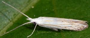 Coleophora zelleriella 3