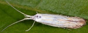 Coleophora zelleriella 4