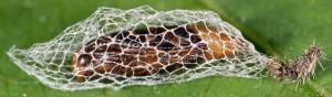 Eidophasia syenitella c 2