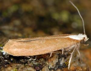 Euhyponomeutoides albithoracellus 1
