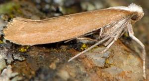 Euhyponomeutoides albithoracellus 2