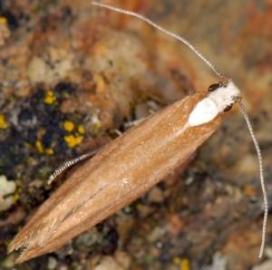 Euhyponomeutoides albithoracellus 3