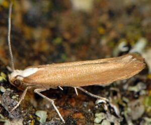 Euhyponomeutoides albithoracellus 4