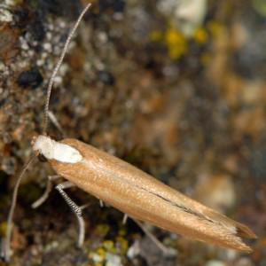 Euhyponomeutoides albithoracellus 5