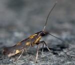 Euspilapteryx auroguttella (I)