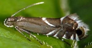 Glyphipterix simpliciella 06 1