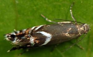 Glyphipterix simpliciella 06 3